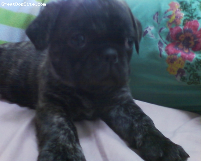 Puginese, 12 weeks, black brindle, playful, lovable, but stubborn sometimes
