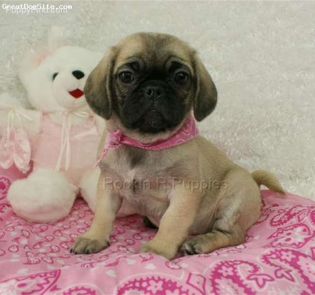 Puginese, 8 weeks, fawn, She is puginese puppy!