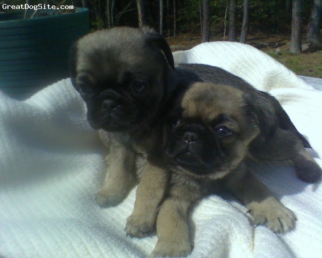 Puginese, 6 Weeks, Fawn with dark highlites, Female on top of her sister. Full of energy and very smart!