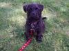 Pugland, 3 months, Brindle
