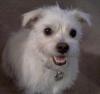 Pugland, 1 year, White