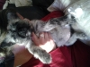 Pugland, 3 months, wheaten/black