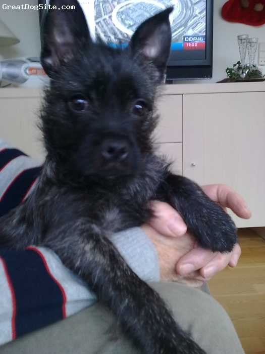 Pugland, 4 months, black with fawn tigerstripes, mom: fawn pug dad: white Westie Have no idea where the black colour is from.