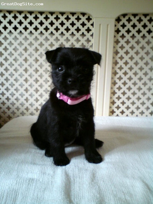Pugland, 8 Weeks, Black, Hello Gorgeous!