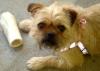 Pugshire, 2 years, tan