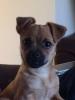 Pugshire, 3 months, Brown