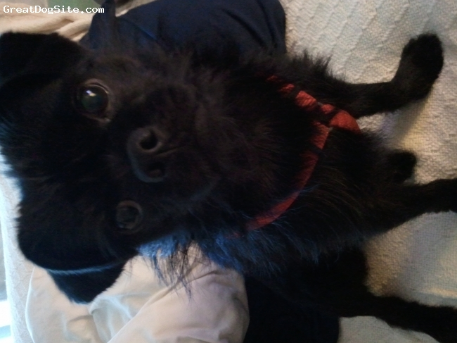 Pugshire, 1, Black, best all around dog. I love him so much. Very smart loves to snuggle. Pretty chill unless he sees a dog on tv lol