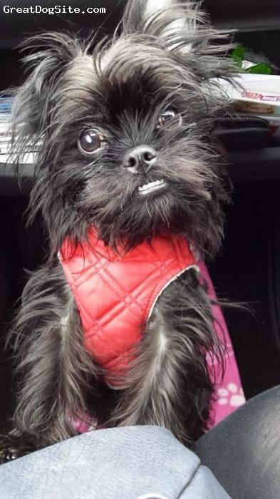 Pugshire, 9 months, Black, Toy yorkie cross pug