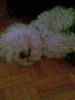 Puli, 3, white