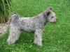 Pumi, 16 months, silver