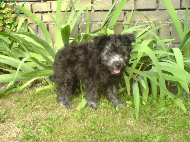 Pumi, 2 months, silver, These Pumi breed and has been imported from Finland.