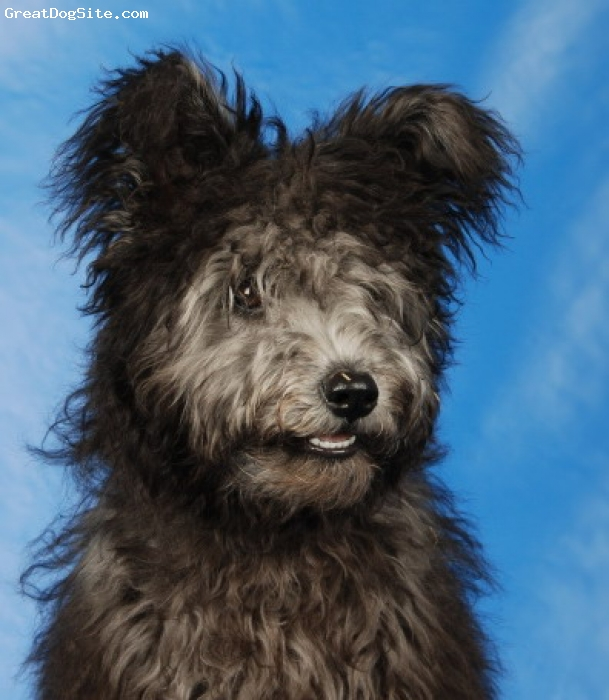 Pumi, 5 months, silver, These Pumi breed and has been imported from Finland.