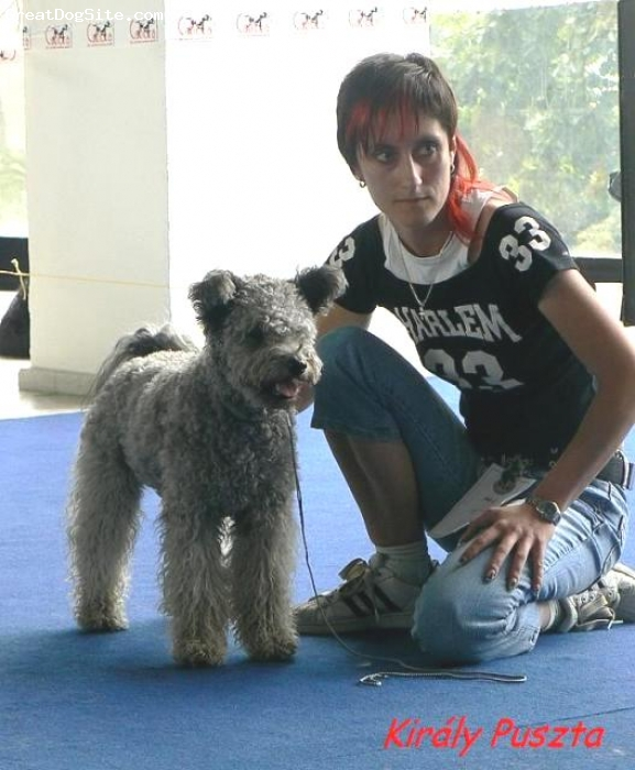 Pumi, 15 months, silver, These Pumi breed and has been imported from Finland.