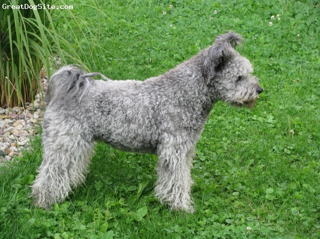 Pumi, 16 months, silver, These Pumi breed and has been imported from Finland.