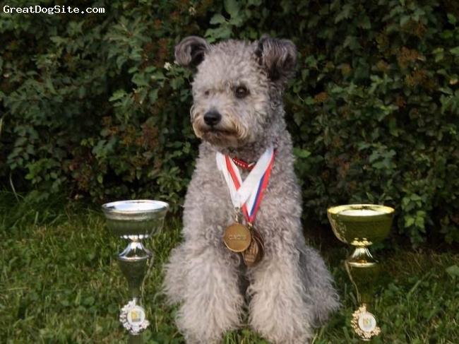 Pumi, 17 monat, silver, Pumi Napos Meseszep -DUODANUBE Bratislava results : 2 x Excellent 1, 2 x CAC, 2 x CACIB, 2 x BOB