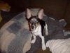Rat Terrier, 11 months and a half, choco.,black,and white