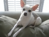 Rat Terrier, 4, White grey & light brown patches