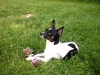 Rat Terrier, 5, Black and white
