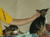 Rat Terrier, don, Tri