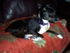 Rat Terrier, 3, black & white