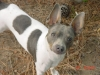 Rat Terrier, 3 yrs, blue tri
