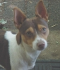 Rat Terrier, 3 yrs, chocolate tri