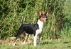 Rat Terrier, 1 year, Black Tri Tuxedo