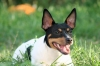 Rat Terrier, 1.5 years, Black Tri Piebald