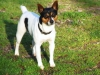 Rat Terrier, 1 1/2, White/Black/Tan