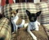 Rat Terrier, 9 mos./3 years, blk/white and choc./white