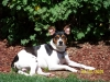 Rat Terrier, 4yrs, Tri