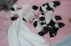 Rat Terrier, 2 days, black and white and tri