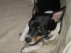Rat Terrier, 3, Multi