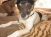 Rat Terrier, 2, white,black and brown