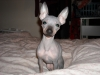 Rat Terrier, 1yr. 7months, blue