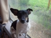Rat Terrier, 3 years, Black and white