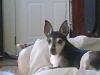 Rat Terrier, 10, black