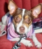 Rat Terrier, 3, pokabrown