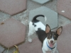 Rat Terrier, 31/2 months, White and Chocolate