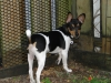 Rat Terrier, 5 months, tri color