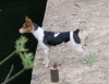 Rat Terrier, 1, Black tan white