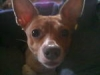Rat Terrier, 6 yrs old, brown and white