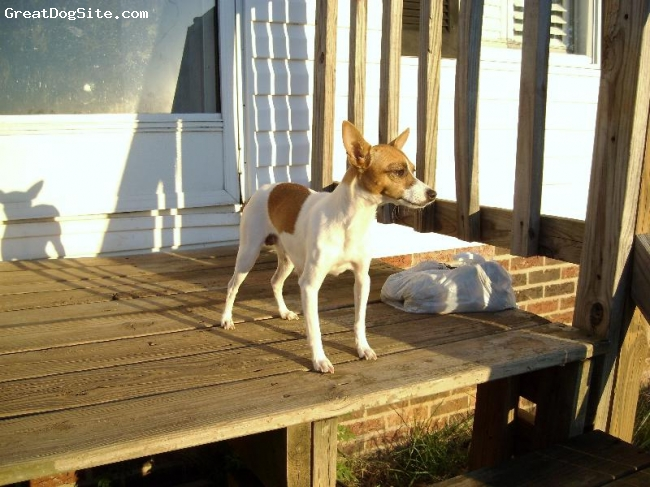 Rat Terrier, 3, Apricot, This is Heidi. She is a Toy  Rat Terrier and weighs 7 pounds.