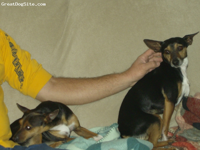 Rat Terrier, don, Tri, Tri color, well mannered, house trained