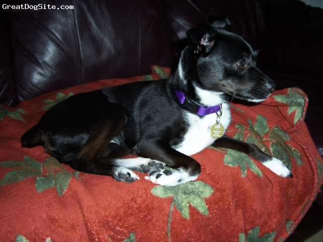 Rat Terrier, 3, black & white, This is Maggie relaxing on the couch