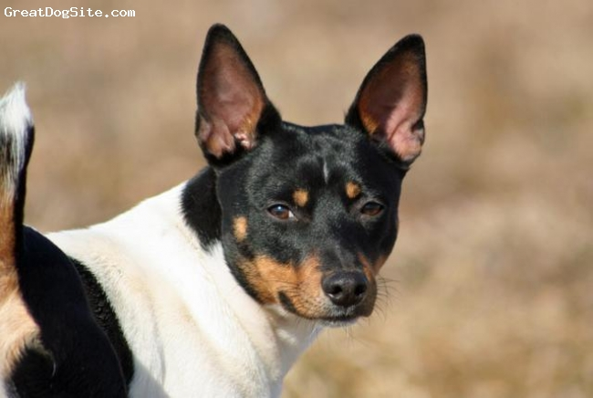 "Rat Terrier, 10 mo, Black Tri Peibald, Mickey stands 15"" tall weighs 19 lbs and is considered a standard variety"