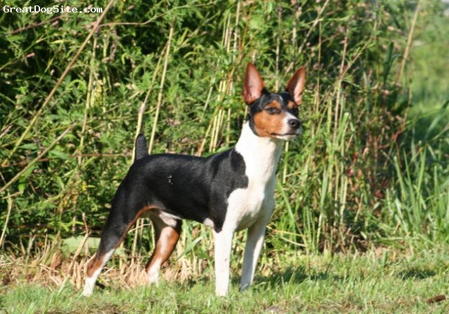 "Rat Terrier, 1 year, Black Tri Tuxedo, Marti stands 14 1/2"" tall and weighs 18 lbs. He is a standard rat terrier"