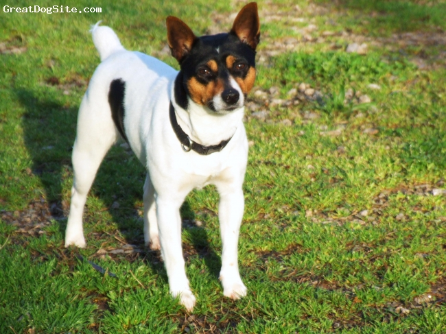 Rat Terrier, 1 1/2, White/Black/Tan, This is a beautiful standard Rat Terrier female.