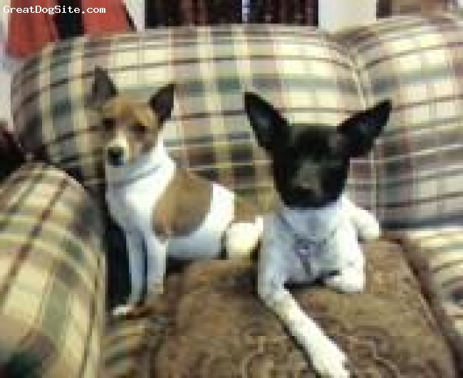 Rat Terrier, 9 mos./3 years, blk/white and choc./white, Frodo is the 9 mo. old blck and white male.