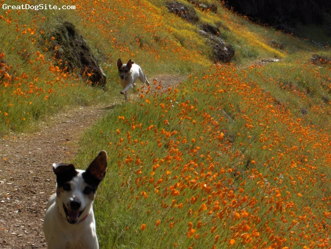 Rat Terrier, 13, tri, Cowboy and his 2 year old friend Indy running down the trail.